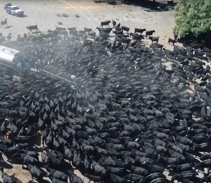 澳洲陷入極端旱災,空拍機拍下新南威爾斯省一座牧場,數千頭牛包圍水車的畫面。圖片翻攝Facebook/Burrabogie Livestock and Contracting。