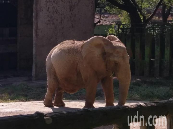 今天是世界大象日,高雄市壽山動物園配合園區8月動物主打星非洲象舉辦「溫柔的巨獸」推廣活動。記者謝梅芬/攝影