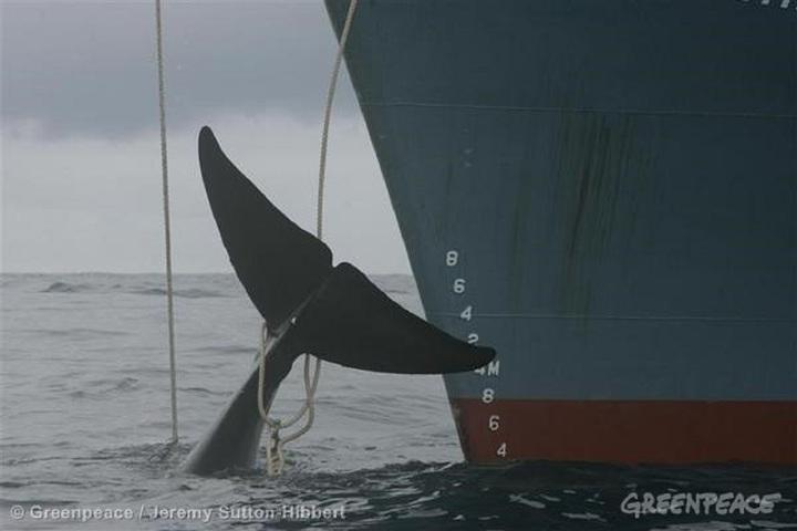 國際捕鯨委員會9月10-14日在巴西召開年會,反捕鯨國再提南太平洋鯨魚保育區計畫,也再度遭捕鯨國連手阻擋,日本甚至反過來要求,聲稱鯨魚已非瀕危物種,應開放商業捕抓,紐澳等國矢言阻擋。綠色和平