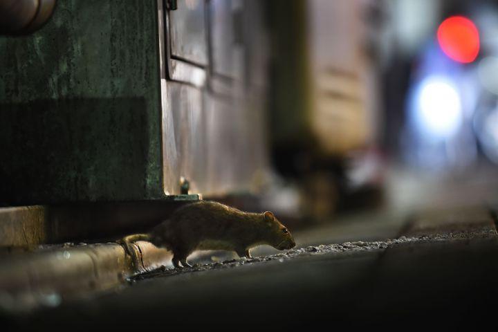一隻老鼠8月30日在築地市場附近的新橋區流竄。隨著商家遷往新的豐洲市場在即,東京都官員與滅鼠專家正在築地市場忙著抓洞補漏,防止鼠患大量向外擴散到銀座等地。法新