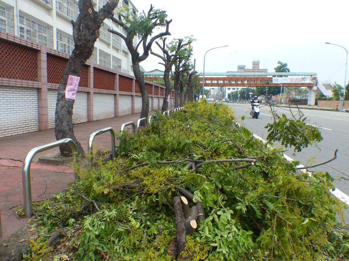彰化市三民路陽明國中圍牆的台灣欒樹,這時正好花開繁盛,最近卻被理了光頭,讓民眾直呼可惜。記者劉明岩/攝影