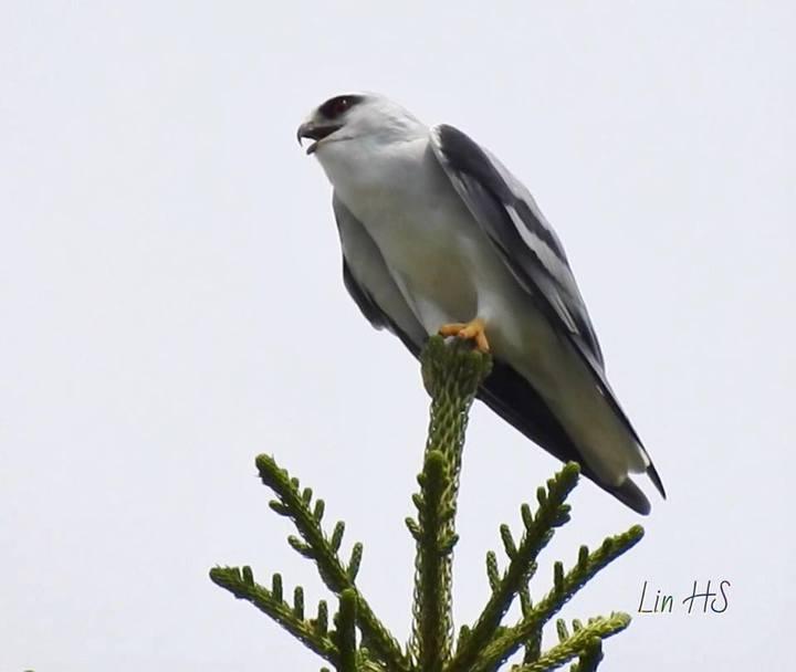 有台灣最美的猛禽美譽的黑翅鳶最近幾乎天天在台中農改場現蹤。照片/場長林學詩提供