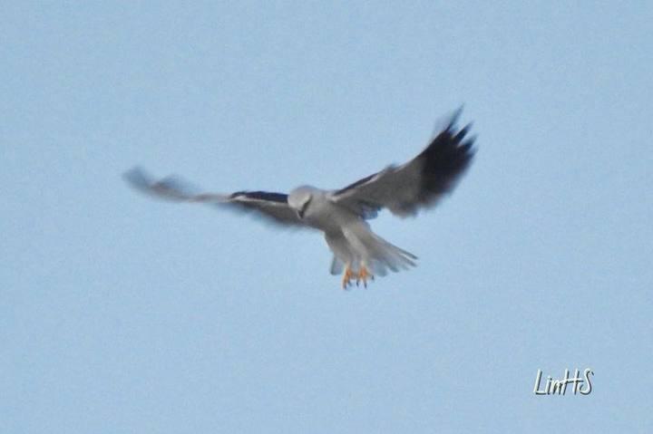 有台灣最美的猛禽美譽的黑翅鳶最近幾乎天天在台中農改場現蹤,在空中懸停準備俯衝獵捕老鼠的英姿。照片/場長林學詩提供