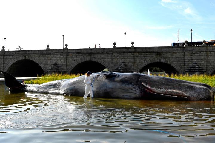 比利時藝術團體,在西班牙馬德里展出名為「鯨」的裝置藝術,在河中擺出一隻栩栩如生的擱淺抹香鯨,希望藉此喚起民眾對環保的重視。路透社