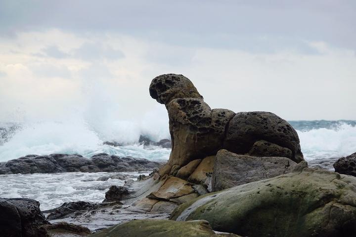 基隆鳥會理事長沈錦豐說,打算明年提報這隻海豹為基隆自然紀念物,它的潛力不輸野柳女王頭。圖/沈錦豐提供