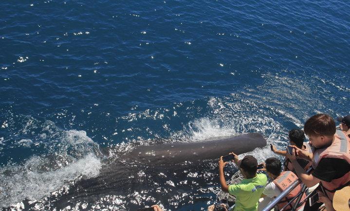 抹香鯨出現在花蓮外海,還主動浮在海面上與遊客及船隻近距離接觸,讓遊客好驚喜。圖/多羅滿賞鯨船業者提供