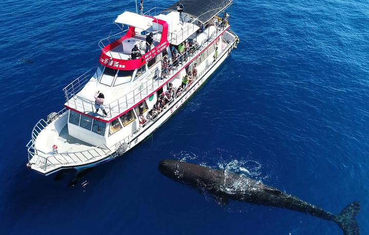 抹香鯨出現在花蓮外海,還主動浮在海面上與遊客及船隻近距離接觸。圖/洄瀾網提供