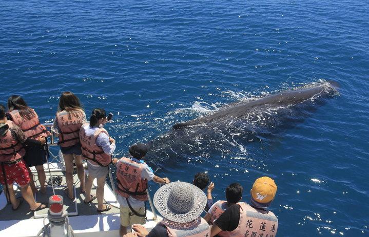 抹香鯨近日接連現蹤花蓮外海,還游到賞鯨船旁與遊客近距離互動。圖/多羅滿賞鯨船業者提供