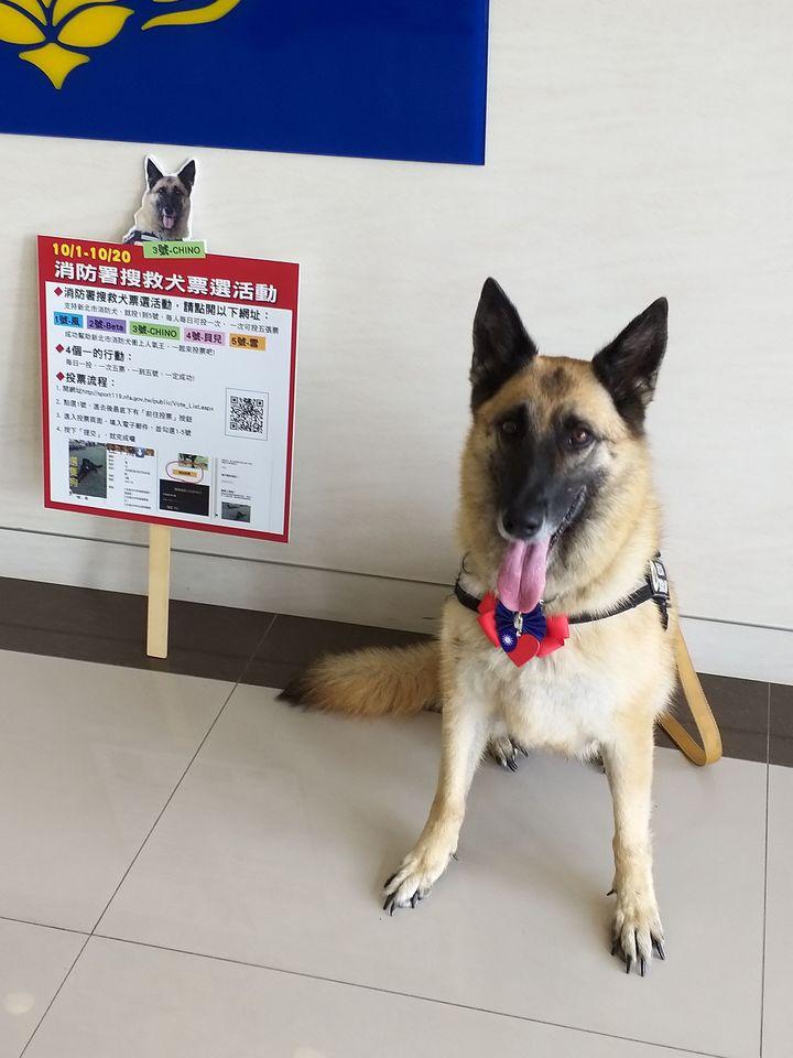 CHINO在107年全國搜救犬網路票選活動,得票暫居第4。圖/消防局提供