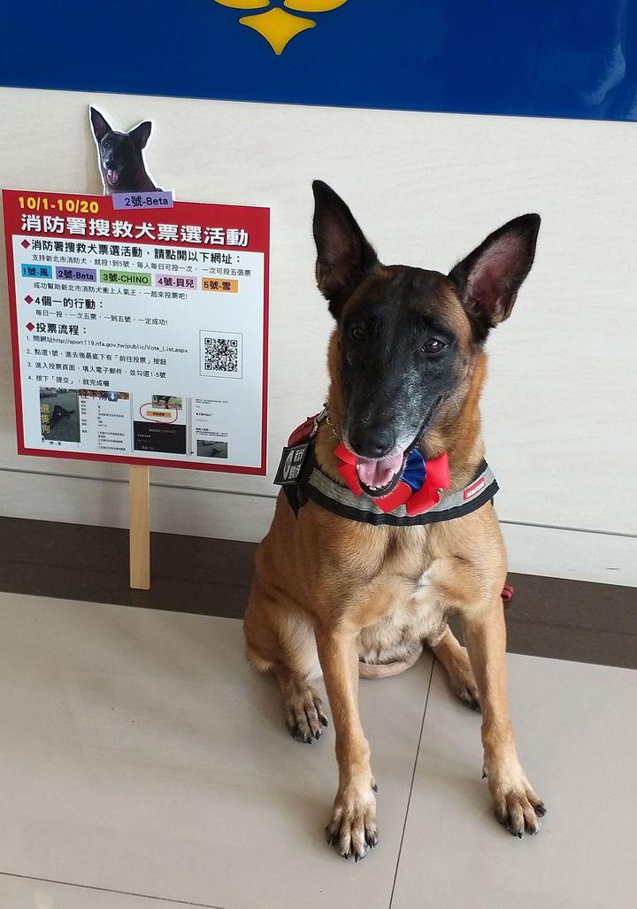 BETA在107年全國搜救犬網路票選活動,得票暫居第7。圖/消防局提供