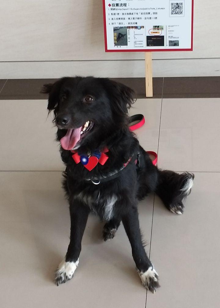 貝兒在107年全國搜救犬網路票選活動,得票暫居第5。圖/消防局提供