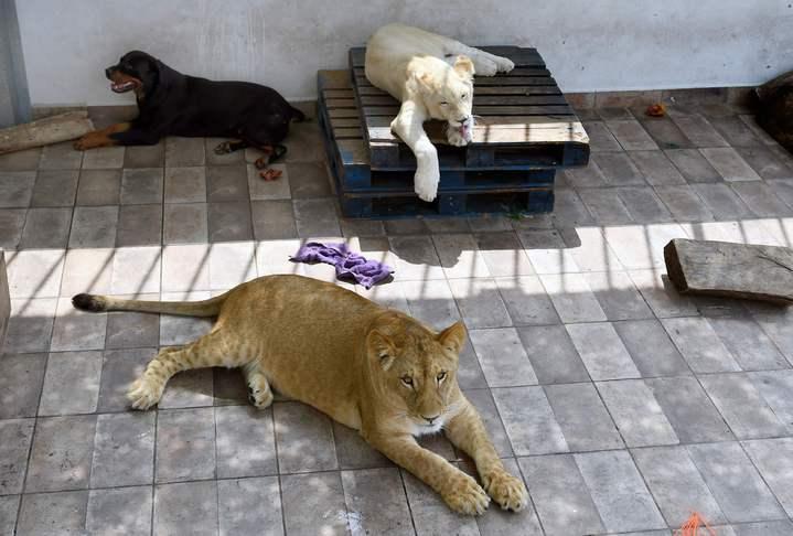 48歲的墨西哥商人羅德里格斯在頂樓豢養3頭獅子,牠們雖然相當溫馴,但偶而發出的獅吼聲,仍時常讓街坊鄰居感到緊張。法新社