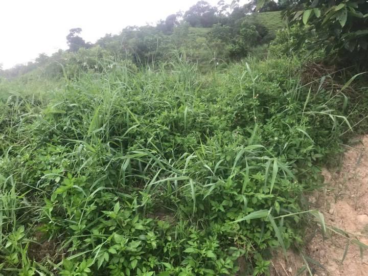 國家生技園區內外來種巴拉草。圖/讀者提供
