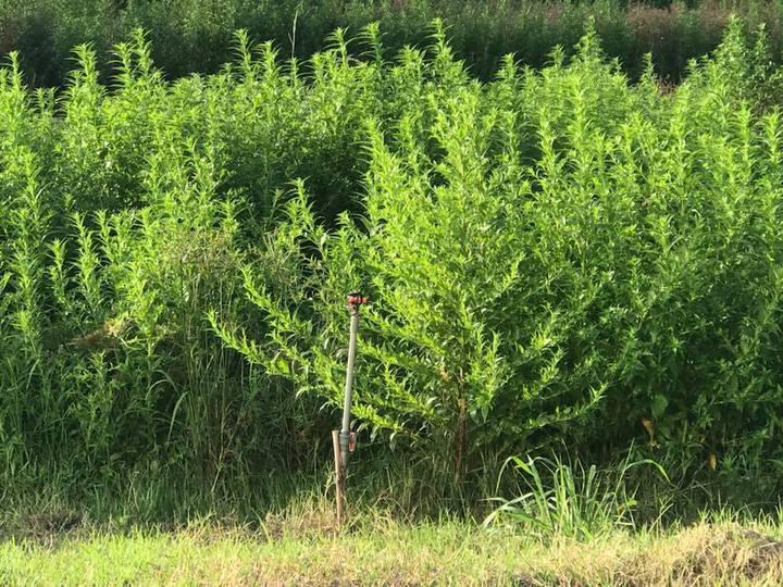國家生技園區內外來種翼莖水丁香。圖/讀者提供