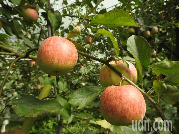 南投縣仁愛鄉台大梅峰農場栽種逾千株蘋果近期由綠轉紅,目前開放預約採果。記者賴香珊/攝影