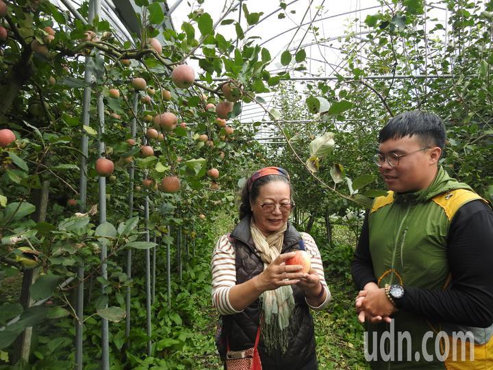 南投縣仁愛鄉台大山地實驗農場梅峰本場將開放民眾預約採蘋果,現場也會有導覽解說。記者賴香珊/攝影