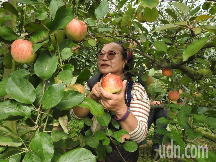 南投縣仁愛鄉台大梅峰農場內栽種逾千株蘋果近期由綠轉紅,開放民眾預約採果。記者賴香珊/攝影