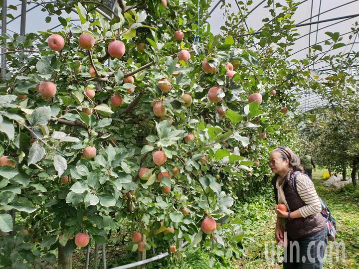 台大山地實驗農場梅峰本場栽種逾千株蘋果由綠轉紅,目前開放民眾預約採果。記者賴香珊/攝影