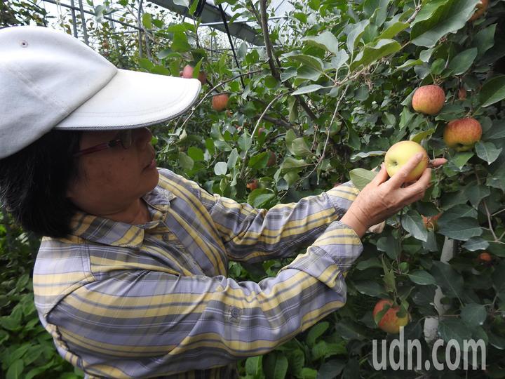 台大山地農場梅峰本場開放採果且導覽解說,指導民眾正確且安全摘採蘋果。記者賴香珊/攝影