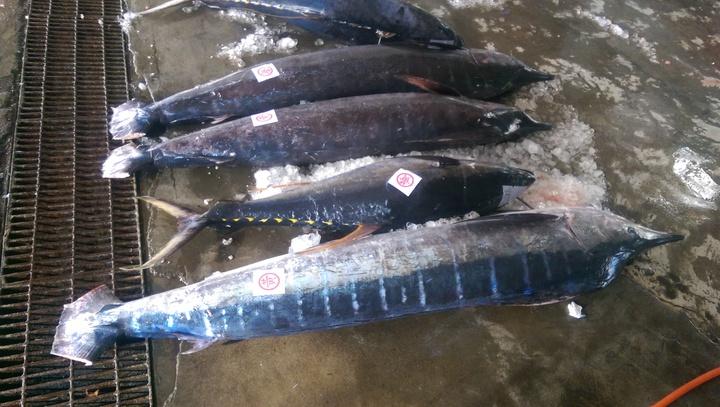 台東2018成功旗魚季系列活動今天等場,新鮮旗魚每天捕獲上岸。記者尤聰光/攝影