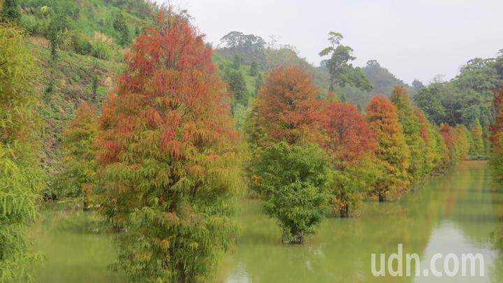 台3線101落羽松秘境整齊種了上百棵,地主蘇盛泉認為美極了,不吝於分享。記者范榮達/攝影