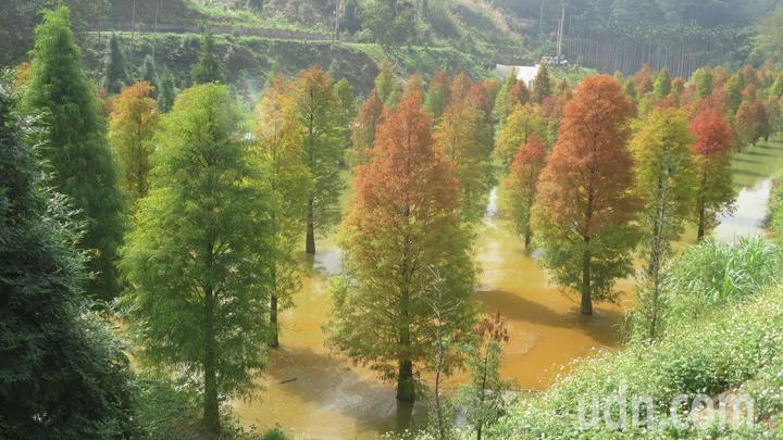 台3線101落羽松秘境上百棵落羽松逐漸變色,美景有療癒作用。記者范榮達/攝影