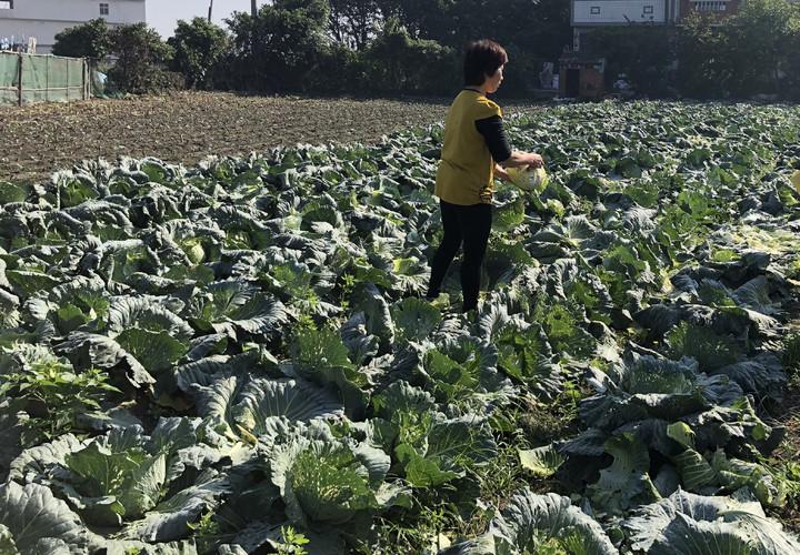 二林鎮林姓農民上周末開放自採1顆10元高麗菜。記者林敬家/攝影