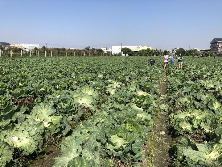 溪湖鎮陳姓農民開放自採1顆10元高麗菜。記者林敬家/攝影