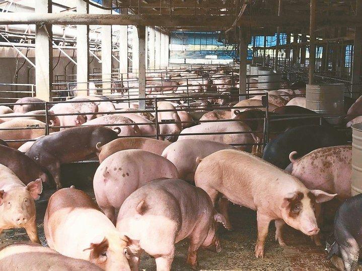 豬肉。圖/本報系資料照片