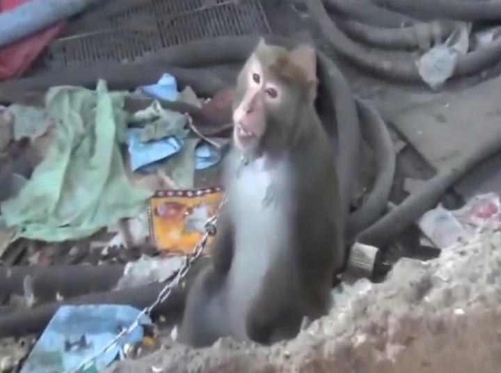 台灣獼猴遭人用鐵鍊拴著,養在豬圈旁。記者蕭雅娟/翻攝