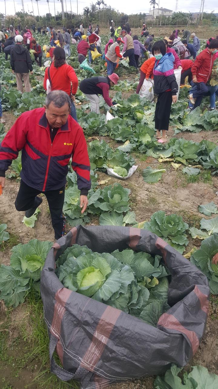 數百人在高麗菜園「搶收」,體驗採菜樂趣,有人表示除了好玩,也希望以行動支持農民。記者胡蓬生/攝影