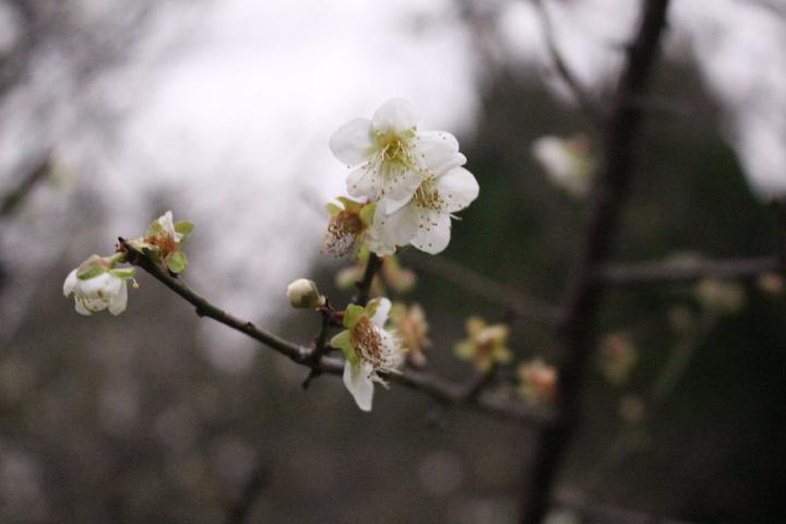 平地賞梅最佳去處,清大梅園梅花盛開中。記者張雅婷/攝影