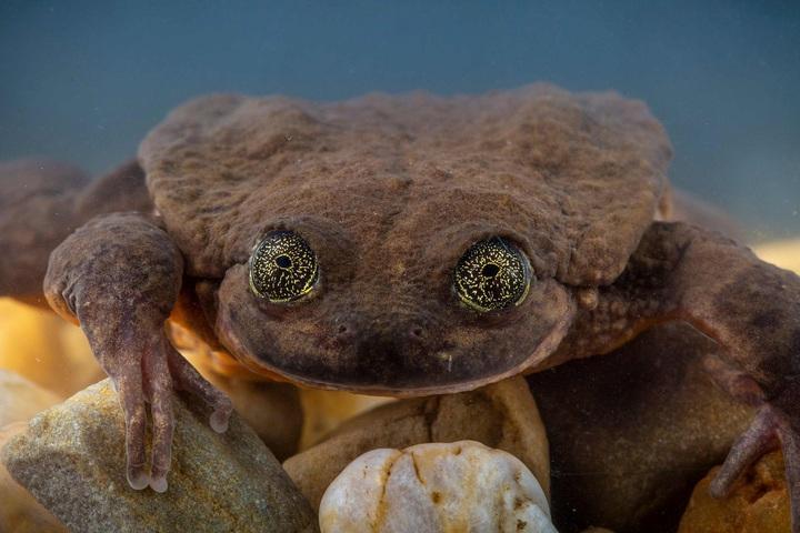 全球野生動物保育機構2018年12月13日為新發現的Sehuencas水蛙「茱麗葉」拍照。此前外界認為世上僅剩一隻Sehuencas水蛙「羅密歐」 ,但探險隊在雨林新發現另外5隻Sehuencas水蛙,包括適合繁衍的「茱麗葉」。法新