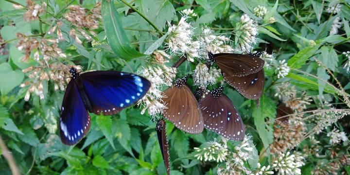 茂林/冬季到茂林可見成千上萬紫斑蝶。記者侯俐安/攝影