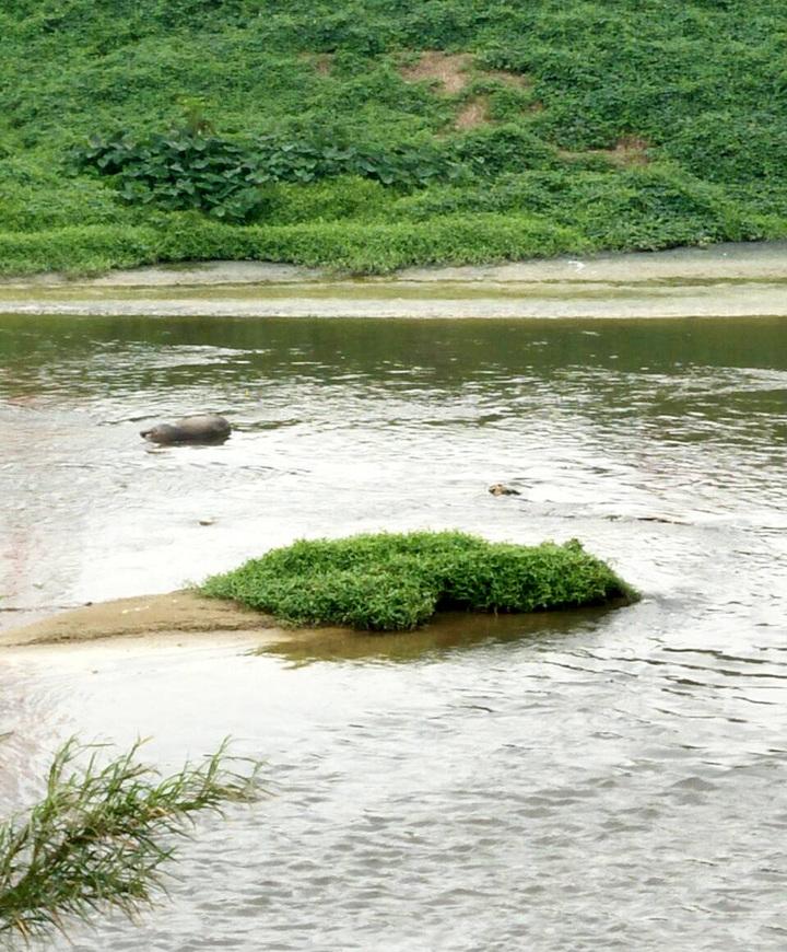 桃園蘆竹區南崁溪下游一隻病死豬浮沉,長興里長呂理粲希望有關單位查明。圖/呂理粲提供