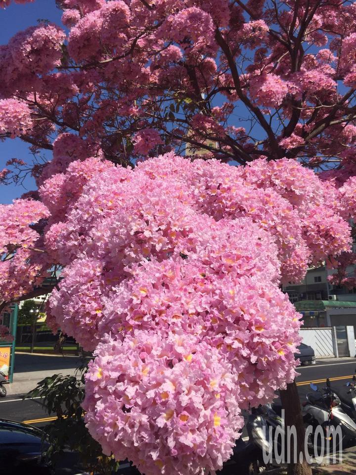 彰化市南校街南郭國小後門人行道上,那棵神奇的紅花風鈴木又盛開了,滿樹粉紅,就像是爆開的粉紅棉花糖。記者劉明岩/攝影