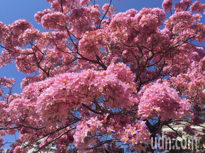 彰化市南校街南郭國小後門人行道上,那棵神奇的紅花風鈴木又盛開了,滿樹粉紅,就像是爆開的粉紅棉花糖照。記者劉明岩/攝影