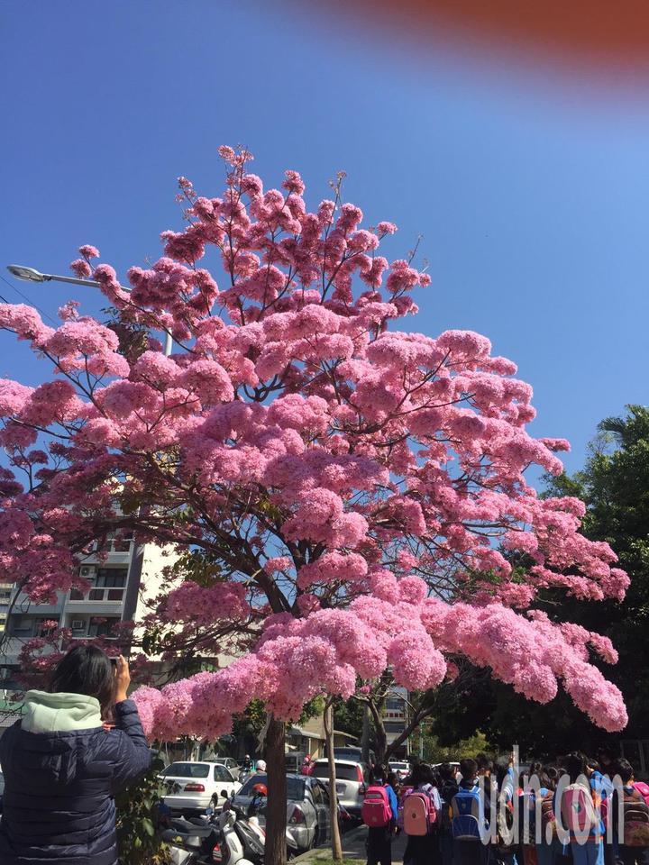 彰化市南校街南郭國小後門人行道上,那棵神奇的紅花風鈴木又盛開了,滿樹粉紅,就像是爆開的粉紅棉花糖,吸引學生與家長拍照。記者劉明岩/攝影