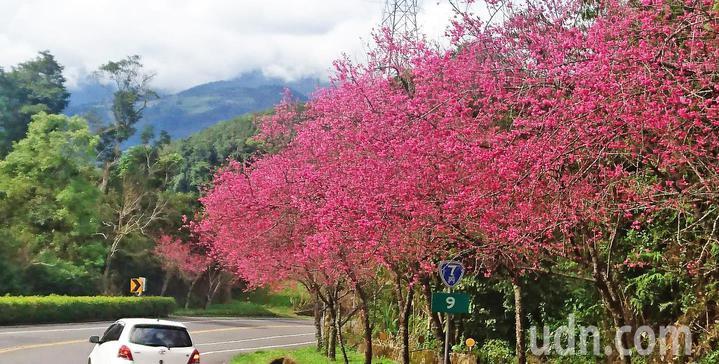 台7丙線被譽為台灣最美的公路,沿途栽種2萬多株櫻花,在 宜蘭縣三星與大同路段,花樹滿路。記者羅建旺/攝影