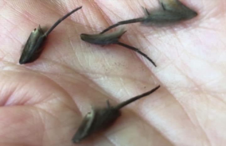 紐西蘭奧克蘭居民克拉克,日前在家中找到奇怪的神秘生物,並拍攝影片上傳社群媒體求解,引發熱議;不過目前為止,尚未有人能解答,就連各界專家也一頭霧水。圖片擷取美聯社影片