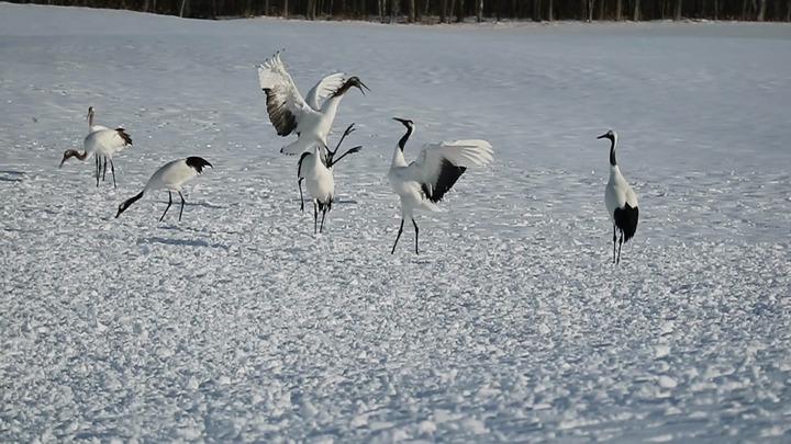 冬季來到北海道釧路「鶴居村」可以觀賞珍罕丹頂鶴,有機會欣賞到鶴鳥互相鳴叫或跳雌雄求愛舞的模樣。記者蔡佩芳/攝影