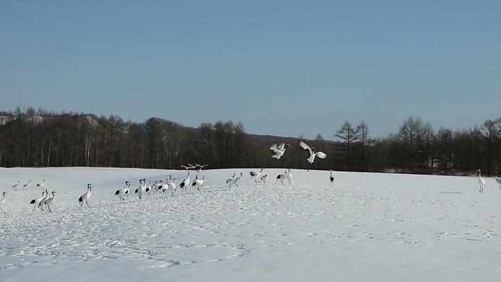 冬季來到北海道釧路「鶴居村」可以觀賞珍罕丹頂鶴。記者蔡佩芳/攝影