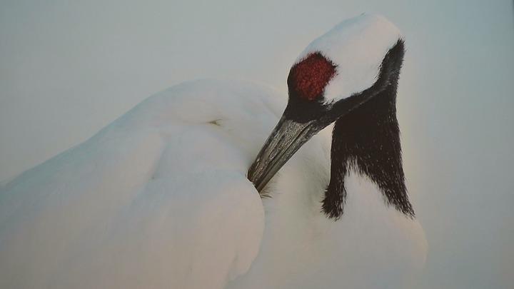 丹頂鶴因頭頂有紅肉冠而得名,具有吉祥、忠貞、長壽的寓意。記者蔡佩芳/攝影