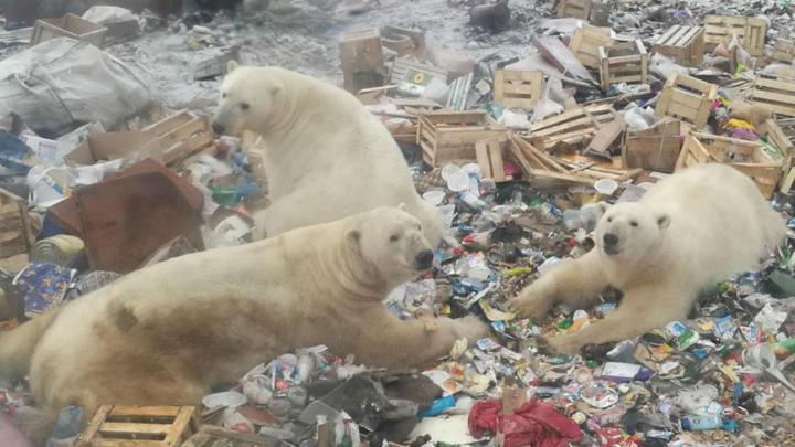 俄羅斯位於北冰洋的新地島群島最近數周遭到北極熊大舉「入侵」,社群媒體VKontakte流傳許多北極熊在公路逛大街、挖掘廚餘與闖入民宅的影像。Instagram/@friend__of__your__friend