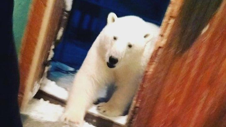 俄羅斯位於北冰洋的新地島群島最近數周遭到北極熊大舉「入侵」,社群媒體VKontakte流傳許多北極熊在公路逛大街、挖掘廚餘與闖入民宅的影像。CBC.ca
