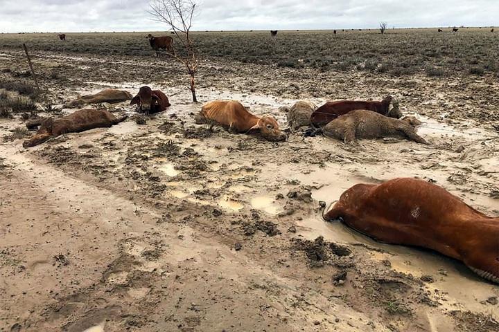 經歷七年乾旱的澳洲昆士蘭省西北近日降下暴雨,引發當地史上最慘重的洪災,這張攝於8日的照片可見到死於大水的牛隻陳屍於泥濘之中。法新/Anthony Anderson