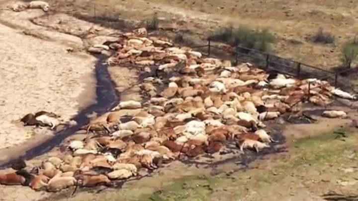 經歷七年乾旱的澳洲昆士蘭省西北近日降下暴雨,引發當地史上最慘重的洪災,死於大水的牛群陳屍於泥濘之中,情況慘不忍睹。Twitter/@JoelDry7