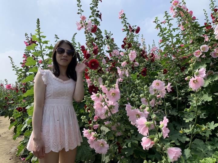 台南學甲蜀葵花海盛開,吸引遊客前往拍照。記者吳淑玲/攝影