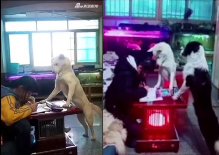 中國貴州貴陽,有一隻白色名為「飯糰」的狗狗,聽令「監督」小主人做功課,前爪搭在桌子上,神情嚴肅的盯著前方小主人寫功課的影片,近期曝光,在網路走紅。圖片擷取YouTube/01其他 Unlisted影片