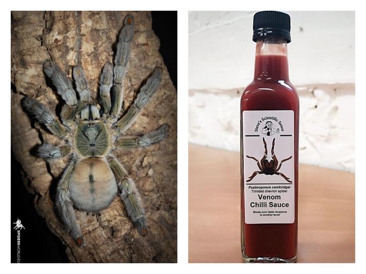 英國科學家崔姆宣稱他帶領的研究團隊找到方法,將安全萃取出來的蜘蛛猛毒調製成辣醬,用300隻千里達老虎尾蜘蛛(左)萃取毒液製成的第一批48瓶辣醬已全數銷售一空。Tarantula Friendly/Scientific Steve's Venom Chilli Sauce